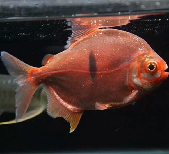 安达玫瑰银版鱼 安达水族新品 安达龙鱼第2张