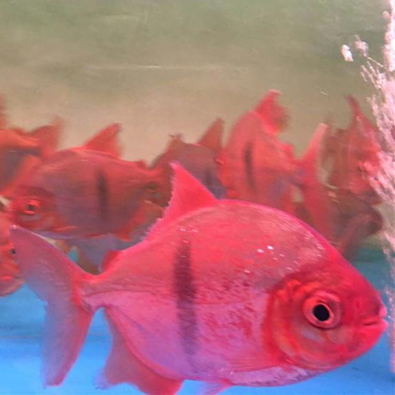 安达玫瑰银版鱼 安达水族新品 安达龙鱼第3张