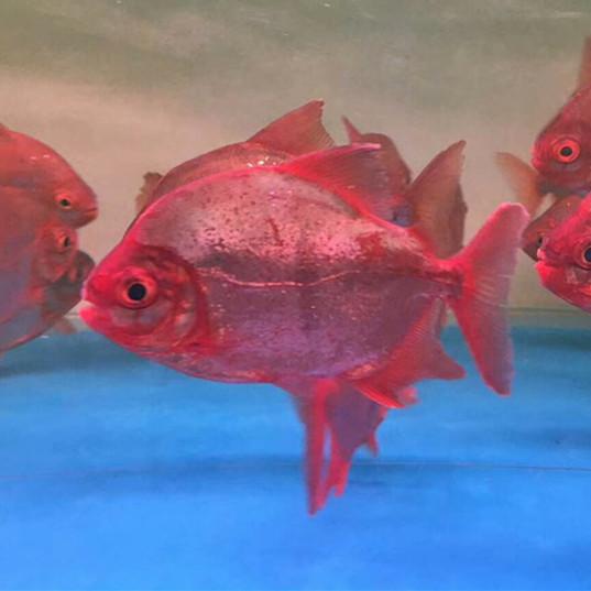 安达玫瑰银版鱼 安达水族新品 安达龙鱼第1张