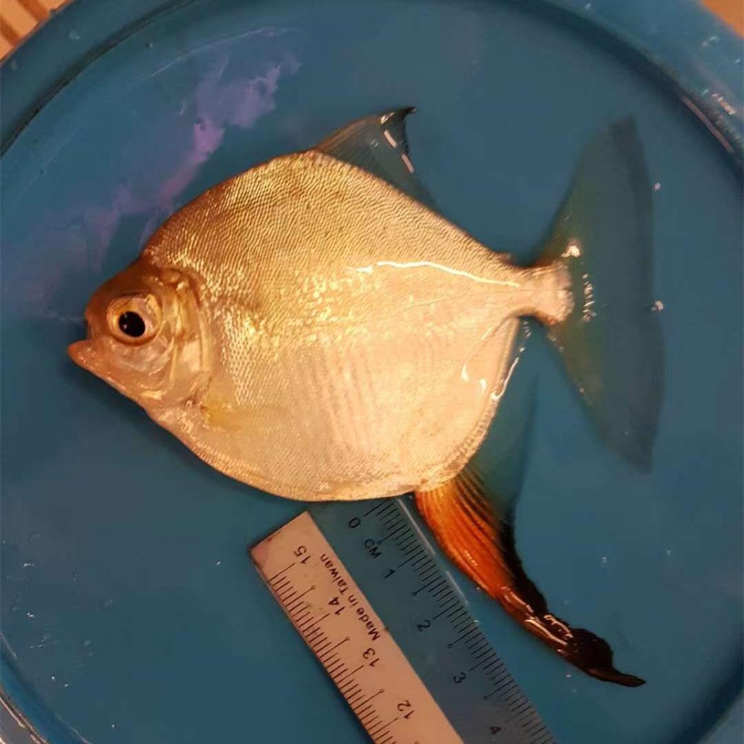 安达红勾银版鱼